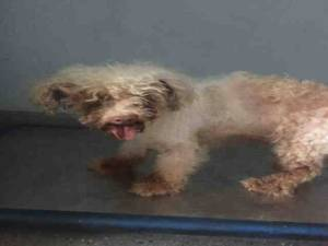 Eddie 10 year old poodle rescued from Baldwin Park CA kill shelter