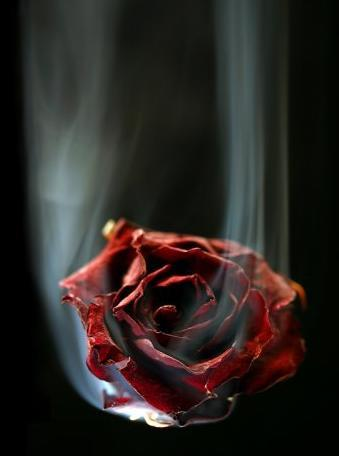 rose wilted
