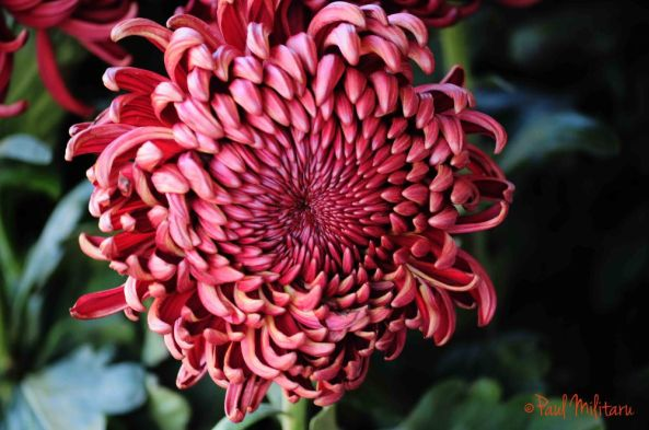 1 chrysanthemum