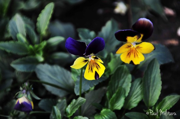 blue-yellow pansy