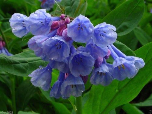 1 blue bells